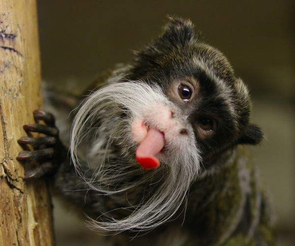 Cheeky Emperor Tamarin Animal Animal Themes Animals In The Wild Bird Close-up Day Emperor Mammal Monkey Nature No People One Animal Outdoors Tamarin