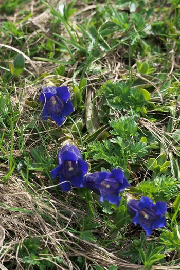 Plant Flower Flowering Plant Purple Growth Vulnerability  Fragility Beauty In Nature Nature Freshness Petal Close-up Field Inflorescence Land Flower Head Blue No People Day Outdoors Springtime Genziane