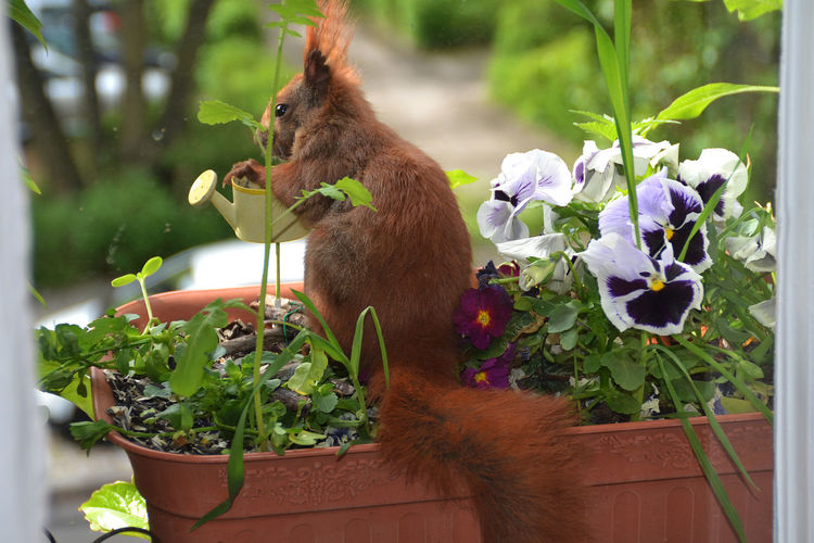 Animal Themes Beauty In Nature Blossom Flower Focus On Foreground Fragility Green Color Growth Nature No People One Animal Plant Selective Focus Springtime Squirrel On Balcon Squirrel Resting In The Flowe Squirrel With Seed