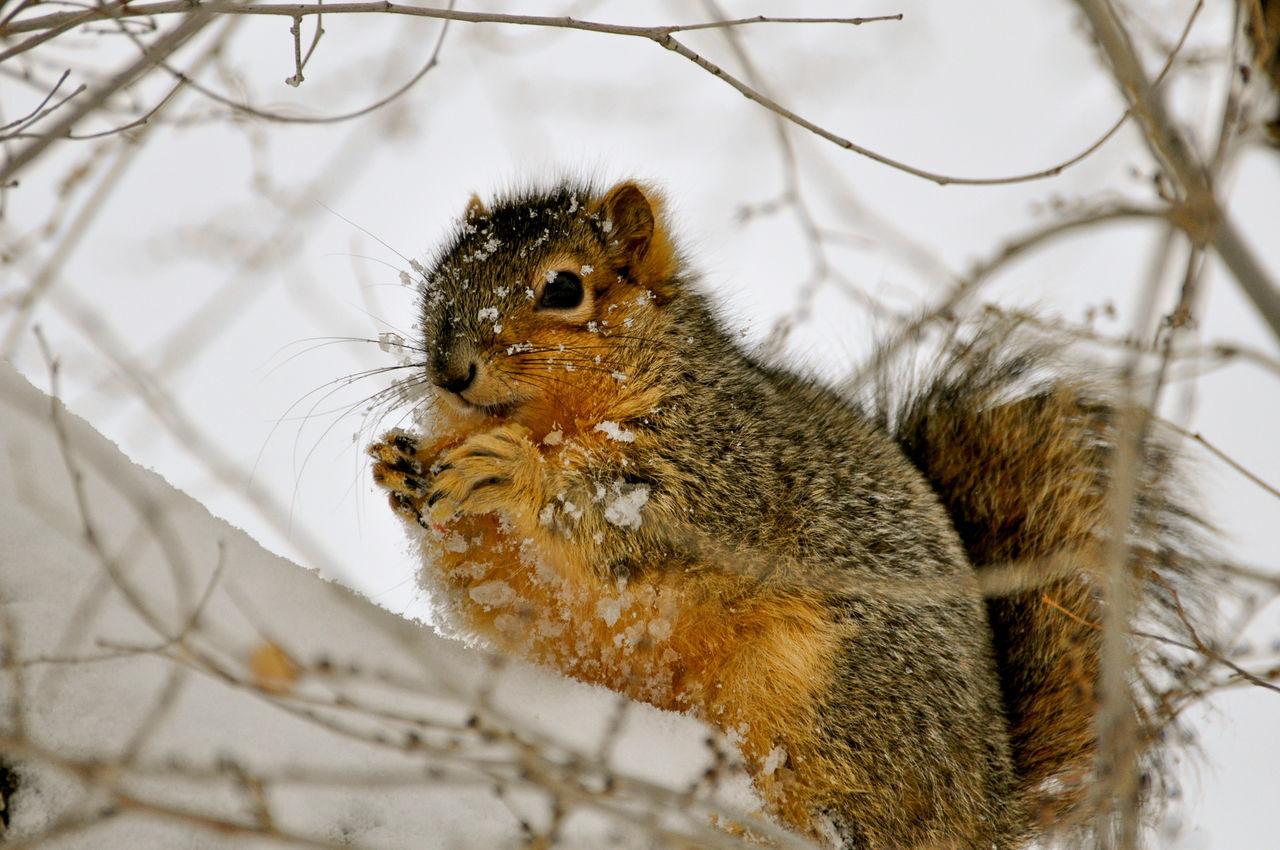 Squirrel On Snowy Landscape