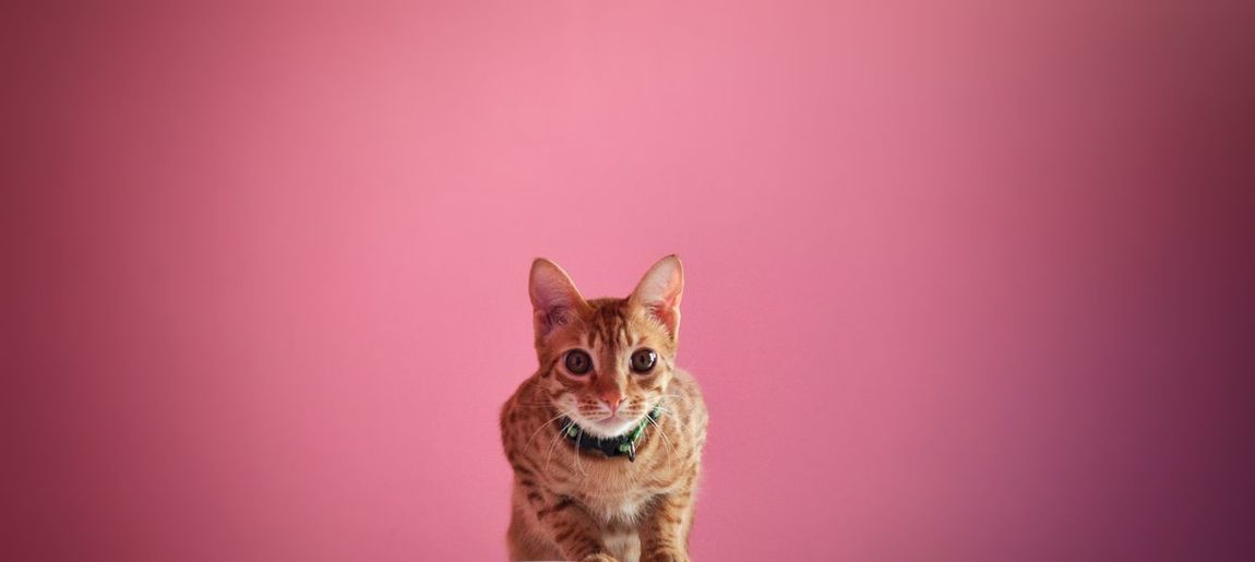 Portrait of cat against pink background