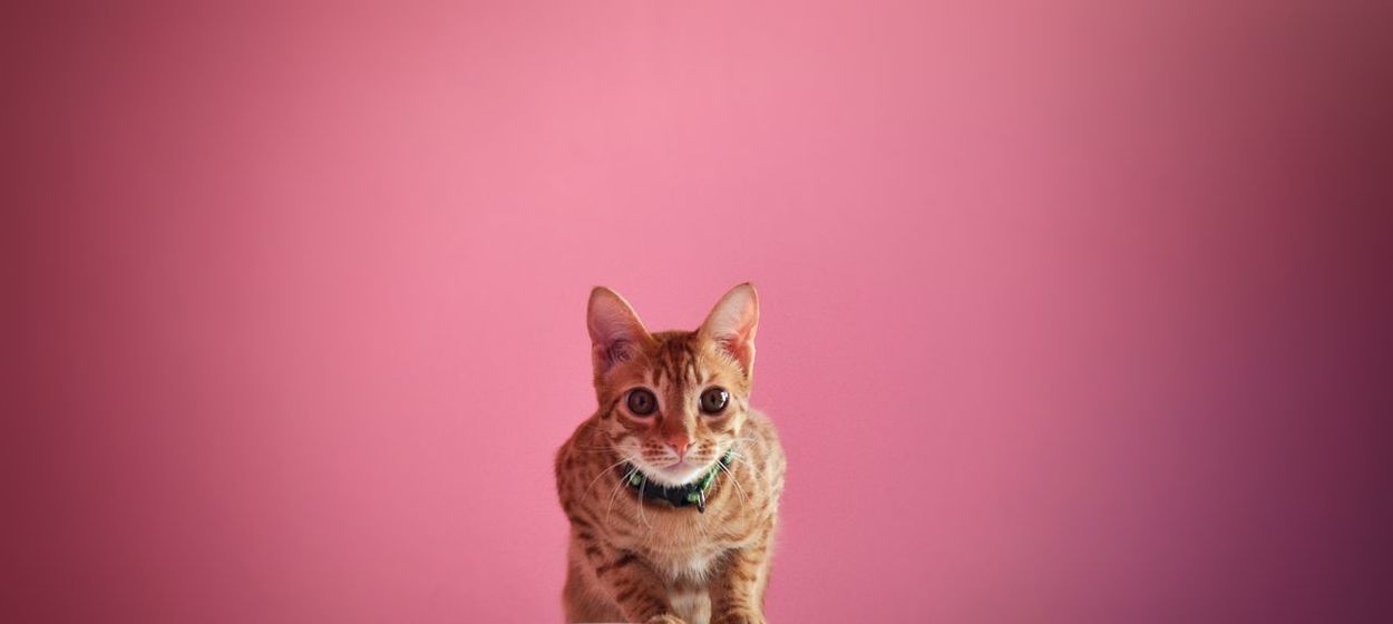 Millennial Pink Looking At Camera One Animal Colored Background Portrait Studio Shot Pets Animal Domestic Cat No People Domestic Animals Animal Themes Indoors  Animal Ear Close-up Mammal Focused Determined Eye4photography  EyeEm Best Shots EyeEmNewHere