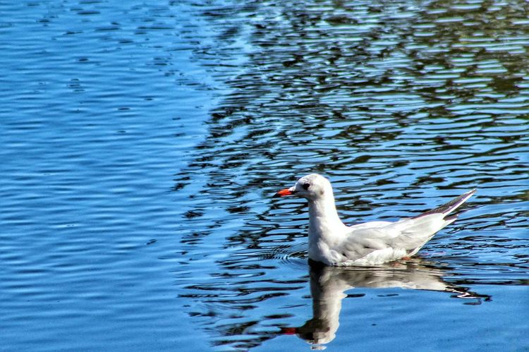 Animals In The Wild Animal Themes Lake Water Swimming Bird One Animal Water Bird Animal Wildlife