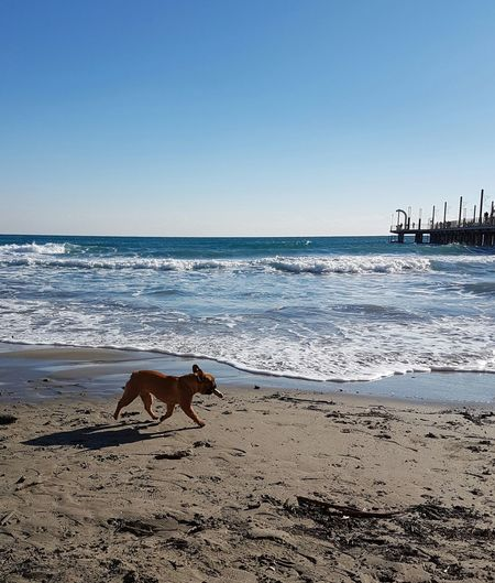 Sea Beach Sand Horizon Over Water Water One Animal Nature Animal Themes Outdoors Animal Wildlife Mammal Wave Clear Sky Sky Day Beauty In Nature No People Pets Animals In The Wild Dog Playingdog Dogonthebeach Animal Photography Alassio Ligurian Riviera EyeEmNewHere