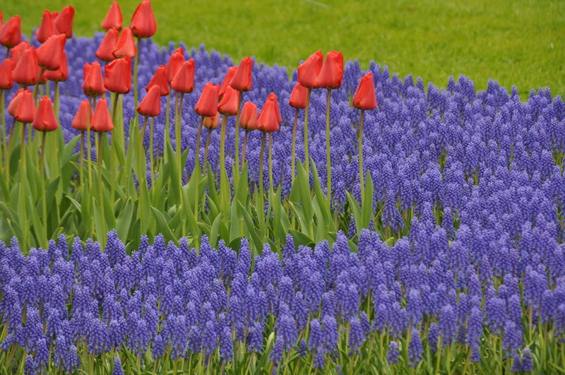 Grape hyacinths and tulips blooming in park
