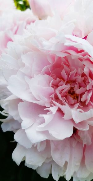 Flower Head Flower Peony  Females Pink Color Petal Water Arts Culture And Entertainment Rose - Flower Blossom Pale Pink Bunch Of Flowers Dew Flower Arrangement