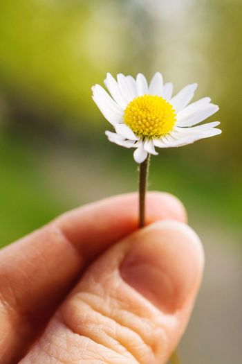 Cropped Hand Holding White Daisy