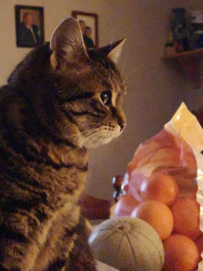 Catwatch Melon Fruits Pets Domestic Cat Feline Close-up Home Cat Domestic Animals Adult Animal