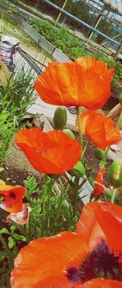 Plant Orange Color Nature No People маки цветыпрекрасны лето сад