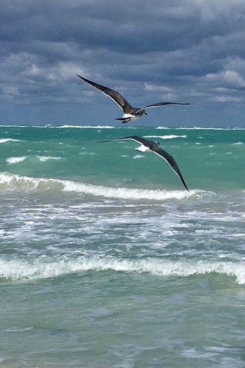 Varadero Beach Life Cuban Life Cuba Collection Sea Water Flying Sky Beauty In Nature Animal Nature Animals In The Wild Bird Horizon Over Water Motion Animal Themes EyeEmNewHere