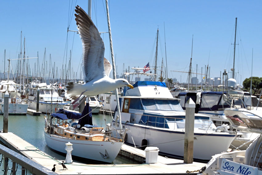 California Gulls Take Off 4 Larus Californicus Emeryville Marina Seagulls Forager Seacoasts Pacific Coast Diet: Most Anything Including Other Young Birds Birds Birdwatching Birds In Flight Birds_collection Bird Photography Sailboats Sailboat Masts Yachts