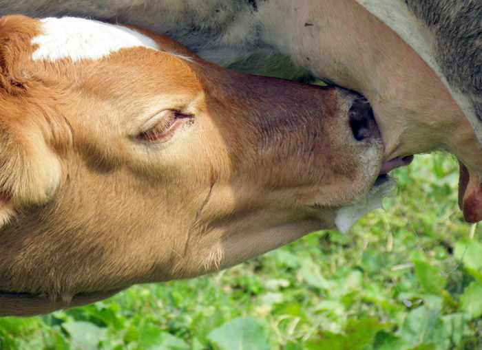Calf drinking cow milk