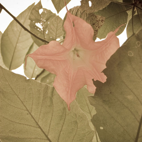 datura flower - Laos Leaf Plant Part Plant Close-up Beauty In Nature Autumn Nature Vulnerability  Growth Change No People Leaf Vein Fragility Flower Flowering Plant Day Maple Leaf Petal Leaves Outdoors Flower Head