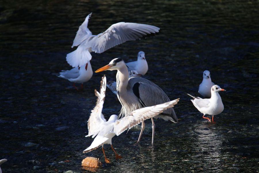 Airone Cenerino Birdwatching Gulls Seagulls Bird Animal Wildlife Spread Wings Lake Animals In The Wild Goose No People Nature Water Animal Themes Outdoors Day