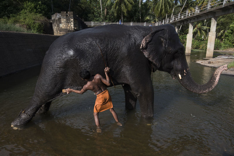 Adult Adults Only Animal Themes Bath Caretaker Day Elephant Enjoyment Happiness Indian Elephant Kanyakumari Mammal Only Men Outdoors People Refreshment Thirparappu Falls Togetherness Welcome To Black Pet Portraits