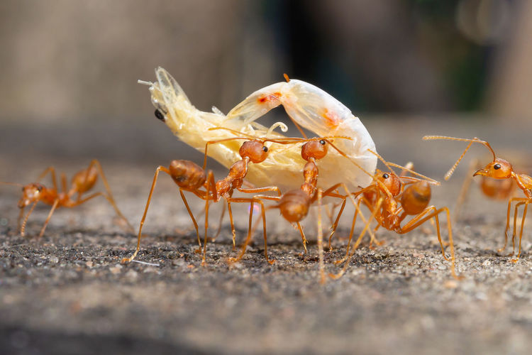 Close-up of ants eating shrimp