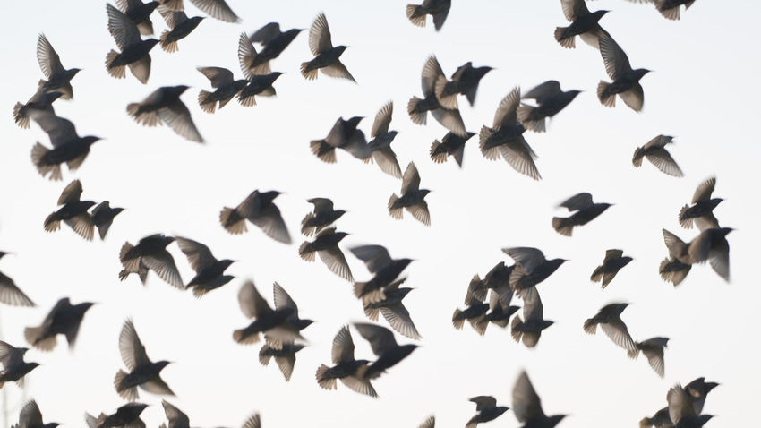 "I must have spooked this group of starlings in the grass on the road side, as they all flew up as one. (Nikon D810 ƒ/5.6 210mm 1/320"" iso 100) Animal Themes Animals In The Wild Beauty In Nature Bird Birds Clear Sky Day Flight Flock Flock Of Birds Flying Nature Pattern Netherlands No People Outdoors Silhouette Spooked Spread Wings Starlings Wildlife Www.benjaminvanderspek.com Zeeland  Photography In Motion Beautifully Organized"