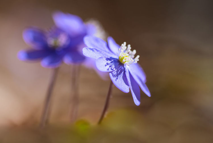 Leberblümchen Blumen Blüten Flowering Plant Flower Plant Freshness Purple Close-up Beauty In Nature Fragility Vulnerability  Nature Petal Blue Flower Head No People Inflorescence Selective Focus Focus On Foreground Outdoors