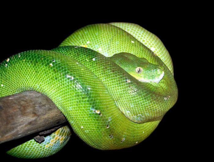 Portrait of green snake on branch