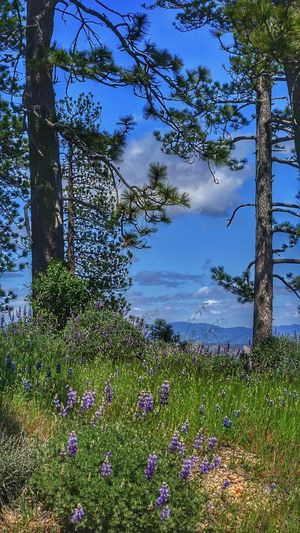 Showcase April Clouds And Sky Enjoying The View Flowers Santabarbara Things I Like Outdoor Life Outdoor Photography Walking Around Landscape_Collection The Week Of Eyeem California Love Tree_collection  Pine Tree Pinetrees Figueroa Mountain Outdoor Activity Lovely National Park