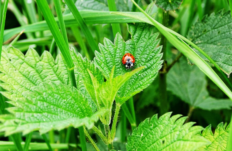 Insect Leaf Animals In The Wild Ladybug Beauty In Nature Close-up Nature EyeEm Gallery EyeEm Best Shots
