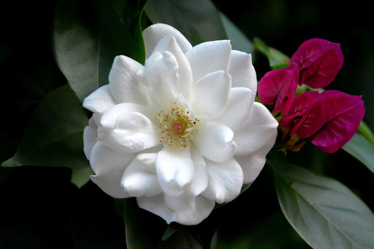 Flower Beauty In Nature Petal Fragility Freshness Flower Head Close-up White Color Day Outdoors Nature Purple Color Rose - Flower
