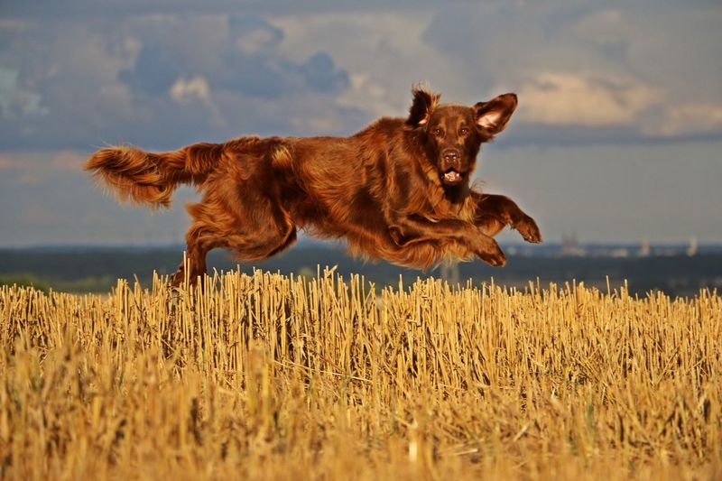 dog is flying over a stubble field with skyline on the horizon Lübeck Lübeck, Germany Pet Portraits Skyline Active Animal Themes Day Dog Domestic Animals Field Flat Coated Retriever Flying Grass Jumping Luebeck Mammal Motion Nature No People One Animal Outdoors Pets Sky Stubble Field Summer