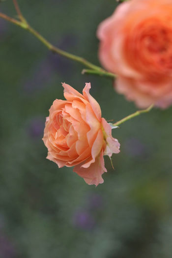 Close-up of orange rose blooming outdoors