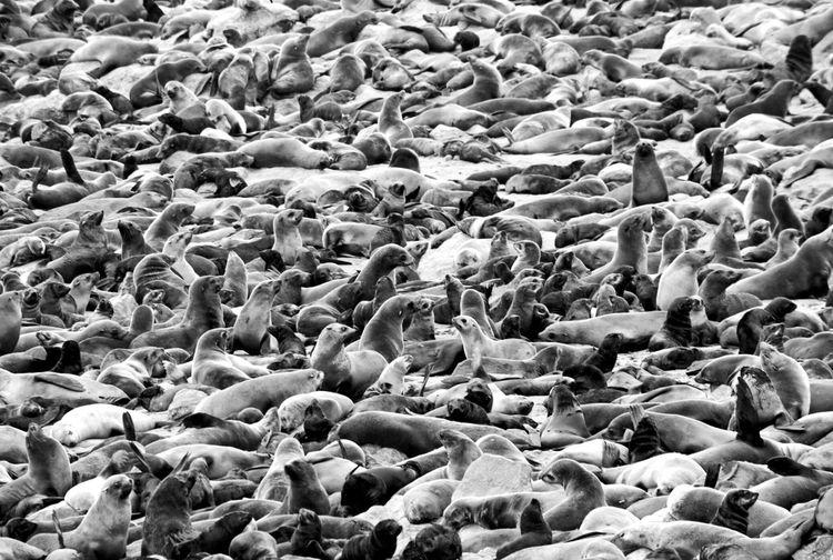 Seal gathering Sealife Wildlife Nature Photography Photooftheday Awesome_shots EyeEm Nature Lover EyeEm Best Shots - Black + White Beauty In Nature Blackandwhite Black & White Blackandwhite Photography Gathering Fam Seascape Backgrounds Full Frame Pebble Beach Abundance Many The Great Outdoors - 2018 EyeEm Awards