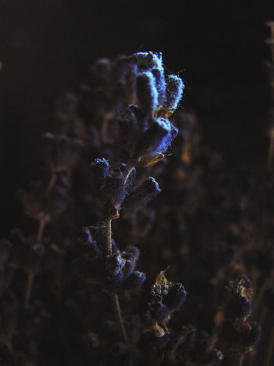 Blue No People Beauty In Nature Black Background Close-up Flower Head Day Dark Photo Dark Background Indoors  Indoors  Black Background Plant Dried Flowers Lavender Flowers Dried Bouquet Blue Mood Maximum Closeness