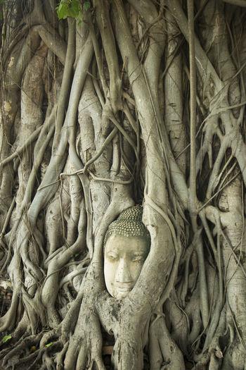 Buddha Statue Covered With Banyan Tree Roots At Wat Phra Mahathat