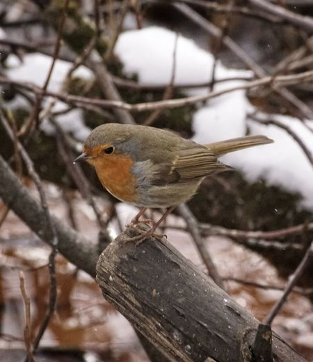 Showcase February 2018 Niklas Februari 2018 One Animal Perching Animals In The Wild Bird Animal Wildlife Focus On Foreground No People Day Animal Themes Winter Close-up Outdoors Branch Tree Nature Robin