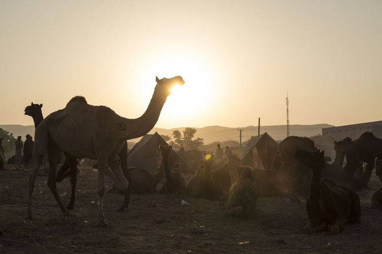 life of camel in field in backlit scene at Pushkar, India Backlight Camel Day Field Indianstories Indiapictures Lifestyles Livestock Mammal Medium Group Of Animals Nature Outdoor Outdoor Life Outdoors Sky Sunlight Travel Destinations Travel Photography