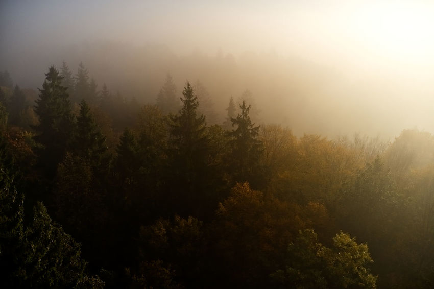 Beauty In Nature Coniferous Tree Day Environment Fog Forest Growth Land Landscape Nature No People Non-urban Scene Outdoors Pine Tree Pine Woodland Plant Scenics - Nature Sky Sunlight Tranquil Scene Tranquility Tree WoodLand