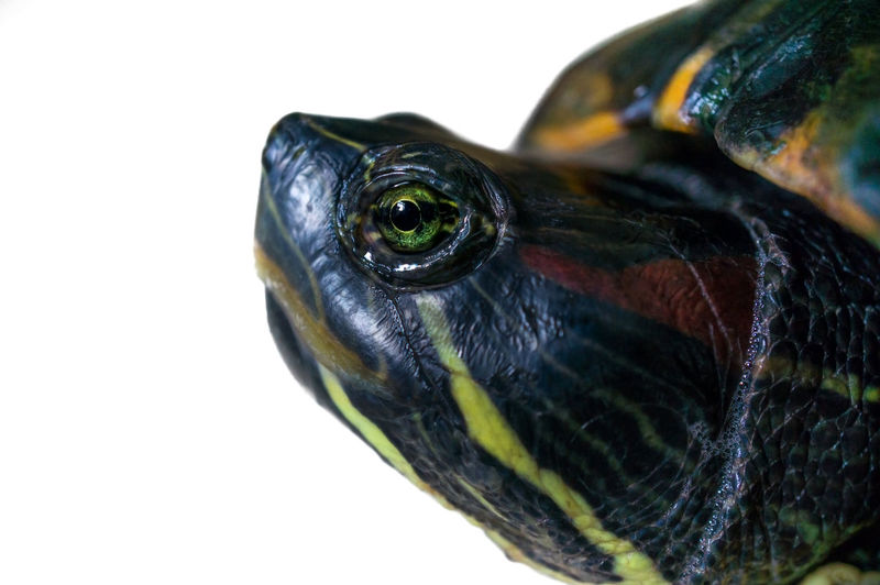 Headshot of Red-eared Slider (Trechemys scripta elegans) in the Pond. Red-eared Slider Animal Animal Body Part Animal Eye Animal Head  Animal Themes Animal Wildlife Animals In The Wild Close-up Copy Space Day Focus On Foreground Indoors  Nature No People One Animal Reptile Semiaquatic, Side View Studio Shot Turtle Vertebrate White Background