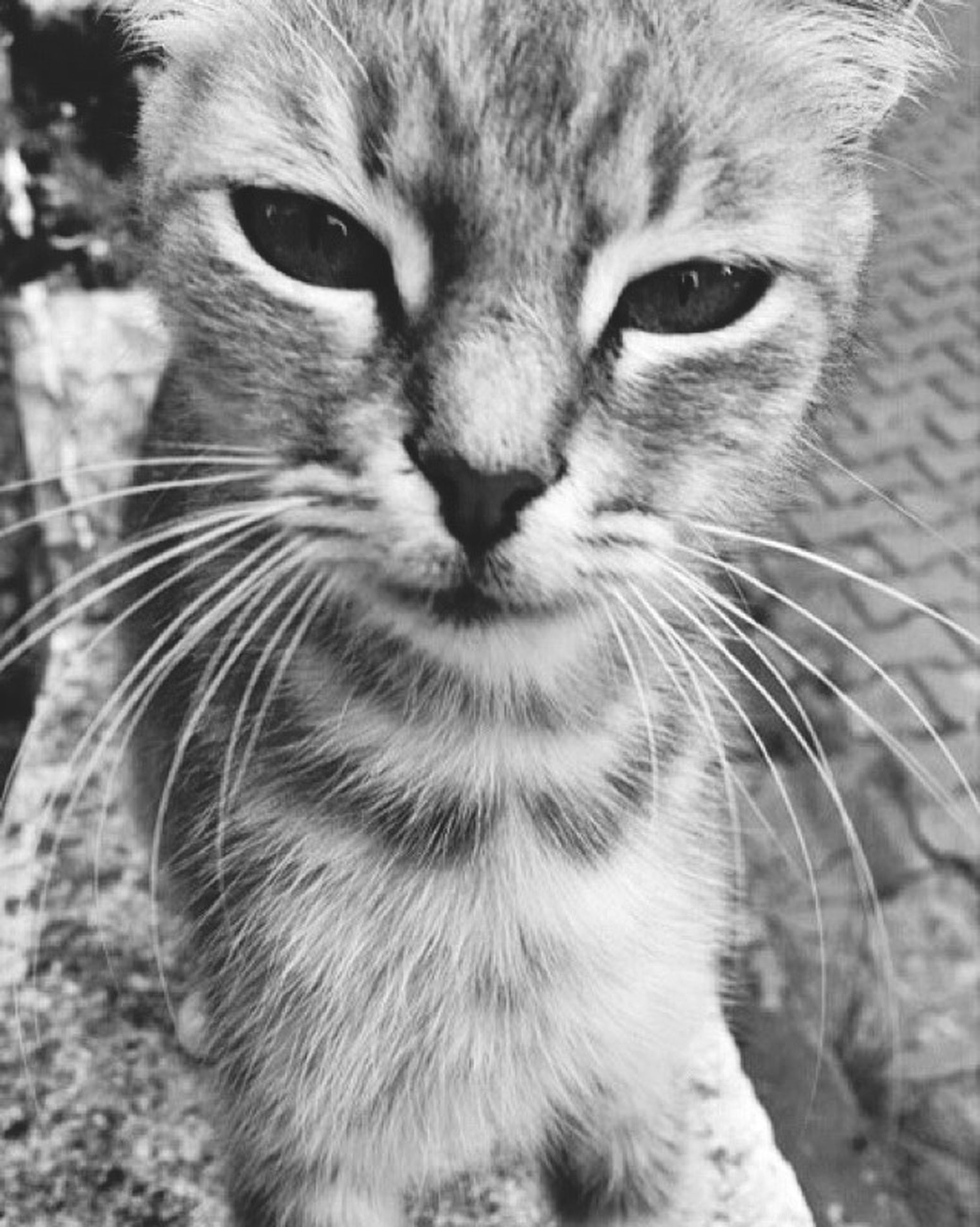 one animal, animal themes, mammal, pets, domestic animals, domestic cat, whisker, cat, feline, close-up, portrait, animal head, looking at camera, focus on foreground, animal eye, animal body part, animal hair, no people, front view