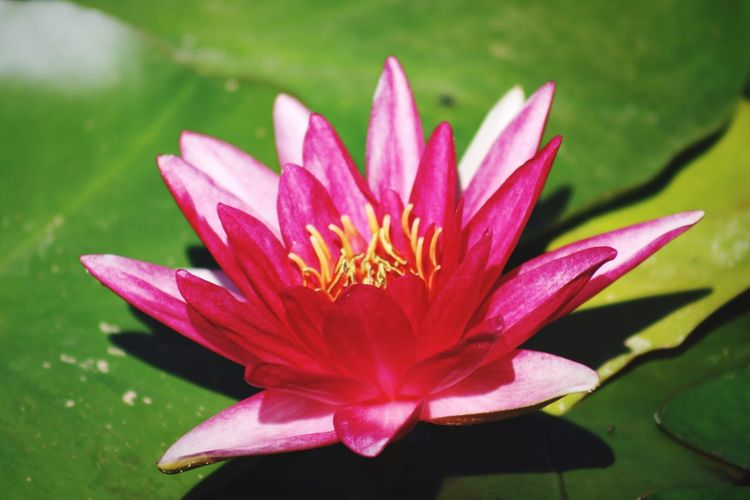 Flower Flower Flowering Plant Petal Plant Flower Head Freshness Vulnerability  Water Lily Beauty In Nature Inflorescence Fragility Growth Leaf Close-up Pink Color Water Pond Pollen Lotus Water Lily No People