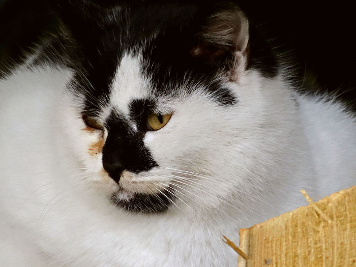 Tricolor cat Animal Themes Cat Looking Away Cat Portrait Close-up Domestic Animals Domestic Cat Feline Mammal Melancholy Cat Melancoly Pets Thinking Tricolour Cat Tricoloured White Color Yellow Eyes