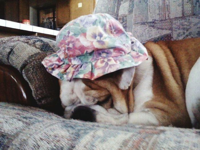 Sleeping Bulldog Sleeping Dog Sleepy Dog