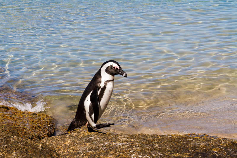 A penguin wandering along the rocks at Boulder Beach African Penguin Animal Themes Animal Wildlife Animals In The Wild Bird Boulder Beach Cape Peninsula Coastal Cute Day Jackass Penguin Nature No People One Animal Outdoors Penguin South Africa Waddling Walking Water Wildlife Winter Zoology