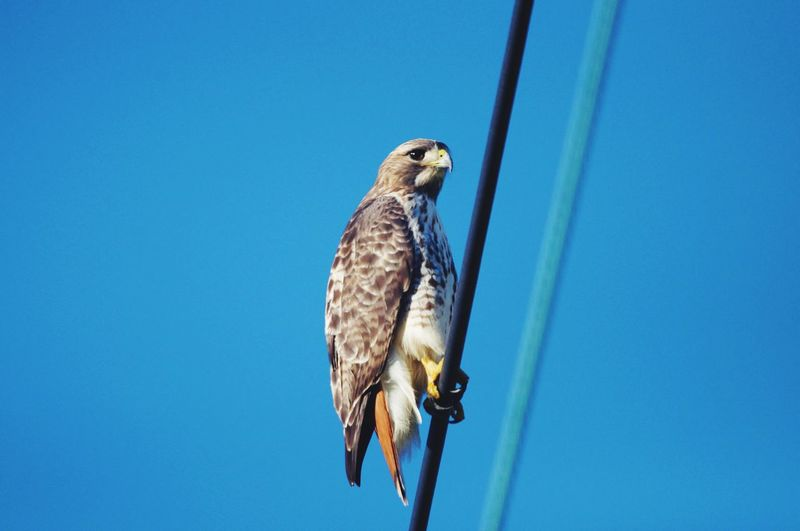 Low angle view of eagle perching on the blue sky