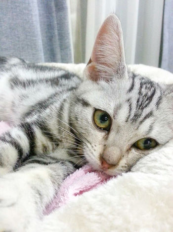 Good night baby oxox Yuri Kitten Americanshorthair Cat