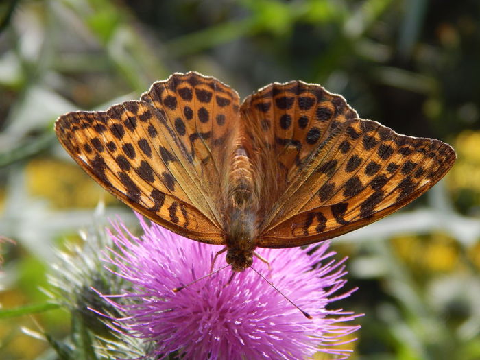 Macro Shot Of Butterfly Pollinating On Pink Thistle