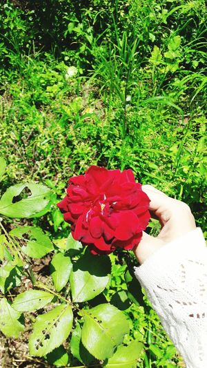 Rosè Red Flower Plant Nature In Bloom Bunch Of Flowers Flower Red Freshness Fragility Green Color Petal Plant Beauty In Nature Growth Flower Head Holding Rose - Flower Blossom Vibrant Color Nature Bunch Of Flowers Green In Bloom KhaoKho,Thailand