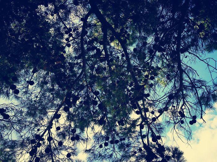 Pinien Croatia Baum Sky Tranquility Outdoors Nature Prementura Kamanjak