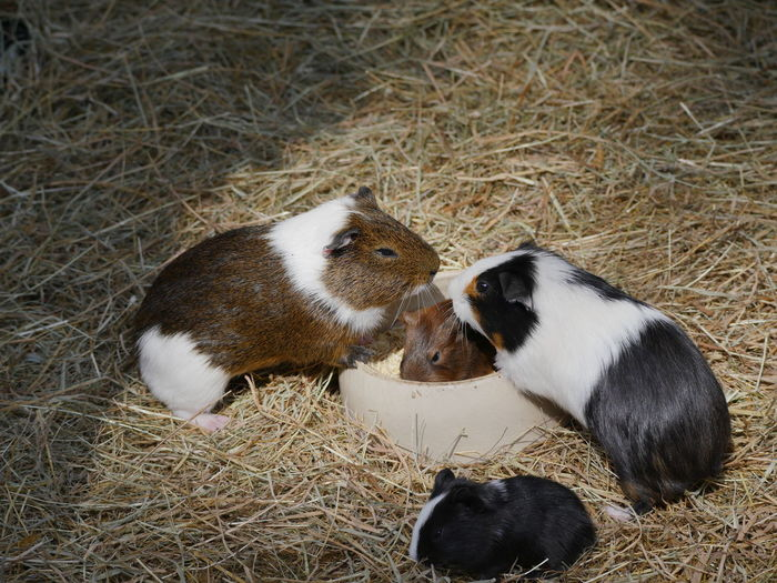 Animal Family Animals Domestic Animals Feeding Animals Feeding Time Guinea Pig Guineapig Mammal Nature No People Pets Straw Togetherness Close-up Animal Themes Capture The Moment Macro Pet Portraits