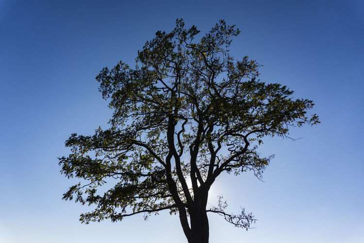 Berlin, Germany, October 13, 2018: Low Angle View of Tree Against Low Sun Berlin Germany 🇩🇪 Deutschland Horizontal Color Image Outdoors No People Tree Sky Plant Clear Sky Blue Low Angle View Nature Day Beauty In Nature Branch Tranquility Growth Scenics - Nature Single Tree Copy Space Tranquil Scene Sunlight Silhouette Sunlight