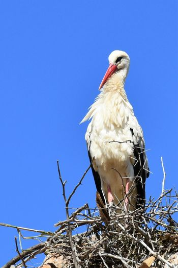 Morocco Rabat Animal Animal Family Animal Nest Animal Themes Animal Wildlife Animals In The Wild Beak Bird Blue Branch Clear Sky Copy Space Day Eagle Low Angle View Nature No People One Animal Outdoors Perching Sky Stork Vertebrate My Best Travel Photo