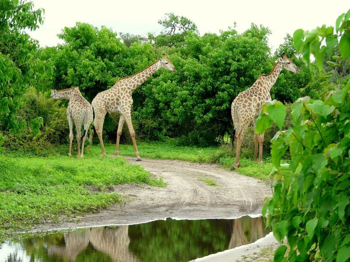 Giraffes in forest