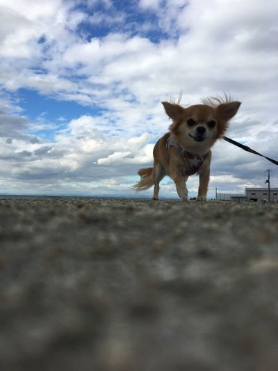 Sky Domestic Animals Dog Pets Animal Themes Cloud - Sky Day Beach Mammal One Animal Sea Outdoors Nature Sand Horizon Over Water No People Water Close-up Niko Family Chihuahua